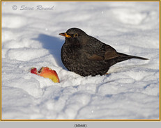 blackbird-68.jpg