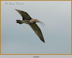 curlew-45.jpg