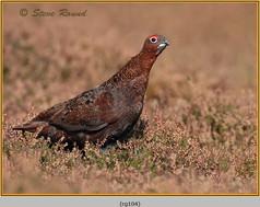 red-grouse-104.jpg