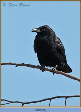 carrion-crow-33.jpg