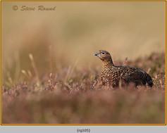 red-grouse-105.jpg