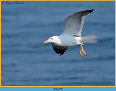 lesser-black-backed-gull- 97.jpg