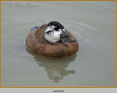 whited-headed-duck-05c.jpg