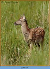 red-deer-81.jpg
