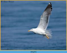 lesser-black-backed-gull- 95.jpg