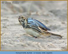 lapland-bunting-09.jpg