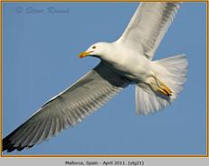 yellow-legged-gull-21.jpg