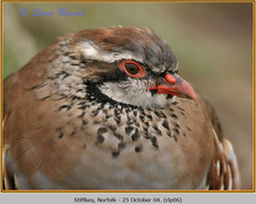 red-legged-partridge-06.jpg