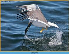 lesser-black-backed-gull-120.jpg