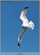 lesser-black-backed-gull-132.jpg