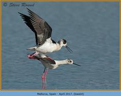 black-winged-stilt-64.jpg