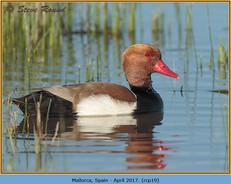 red-crested-pochard-19.jpg