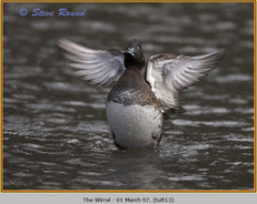 tufted-duck-13.jpg
