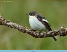 pied-flycatcher-51.jpg