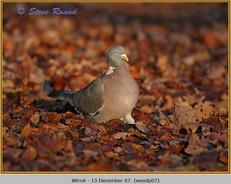 wood-pigeon-07.jpg