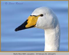whooper-swan-07.jpg