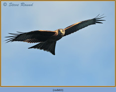 red-kite-83.jpg