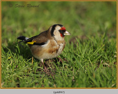 goldfinch-47.jpg