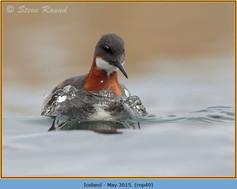 red-necked-phalarope-49.jpg