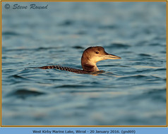 great-northern-diver-69.jpg