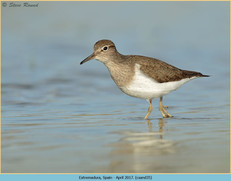 common-sandpiper-35.jpg