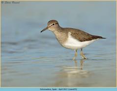 common-sandpiper-35.jpg