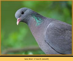 stock-dove-09.jpg