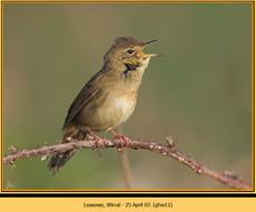 grasshopper-warbler-11.jpg