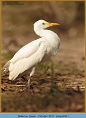 cattle-egret-81.jpg