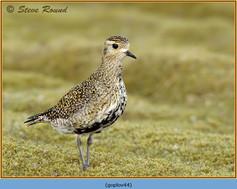 golden-plover-44.jpg