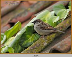 house-sparrow-27.jpg