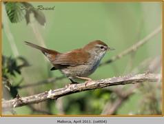 cettis-warbler-04.jpg