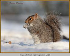 grey-squirrel-18.jpg