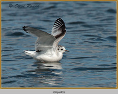 little-gull-43.jpg