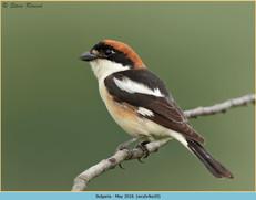 woodchat-shrike-20.jpg
