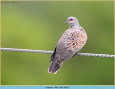 turtle-dove-16.jpg