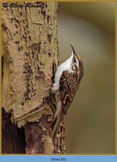 treecreeper-50.jpg