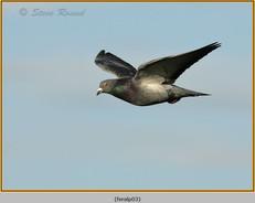feral-pigeon-03.jpg