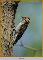 lesser-spotted-woodpecker-05.jpg