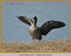 lesser-w-f-goose-05.jpg