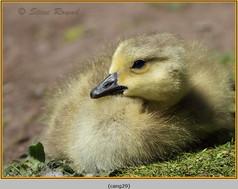 canada-goose-29.jpg