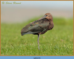 glossy-ibis-14.jpg