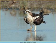 osprey-50.jpg