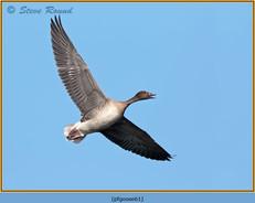 pink-footed-goose-61.jpg