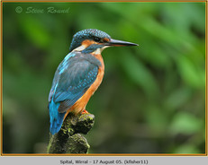 kingfisher-11.jpg