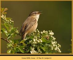sedge-warbler-11.jpg