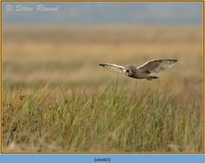 short-eared-owl-62.jpg