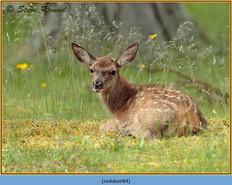 red-deer-84.jpg