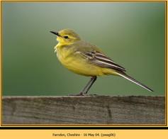 yellow-wagtail-06.jpg