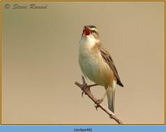 sedge-warbler-48.jpg